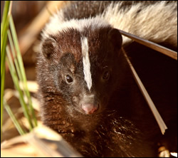 skunk control Fairview